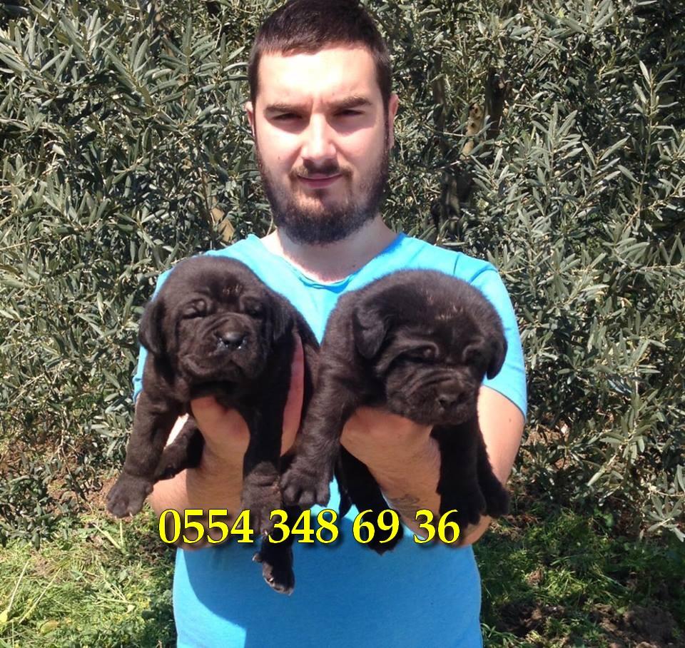 cane corso köpek özellikleri