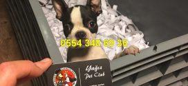 Boston Terrier Video izle