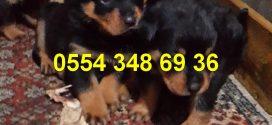 Bursa Rottweiler Yavruları