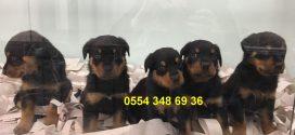 Satılık Rottweiler Yavru ilanları