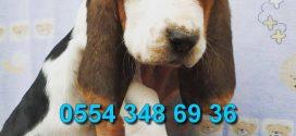 Özel ırk basset hound yavrularımız