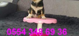 Chihuahua  Videoları izle