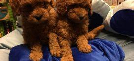 Tea Cup Bardak Köpek Poodle Videoları