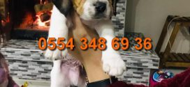Beagle Yavruları video