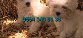 Maltese Terrier Yavru ilanlarımız