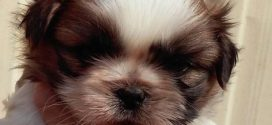 Shih Tzu Yavru video