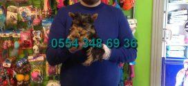 Satılık Tea cup yorkshire terrier