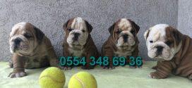 İngiliz Bulldog Yavru Köpekler