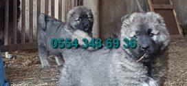 Kafkas Çoban Köpeği ilanları