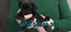 Satılık Siyah Pug Yavruları
