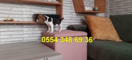 Beagle Yavrumuz