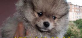 Yağız Pet Club Pomeranian Yavrusu