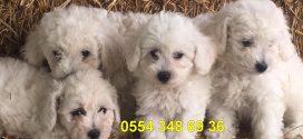 Maltese Terrier Yavrumuz