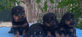Rottweiler Yavrumuz