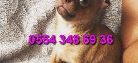 Bursa Chihuahua Yavruları