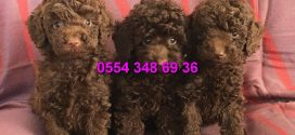 Chocolate brown toy poodle