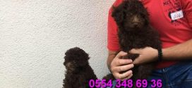 Chocolate browne toy poodle
