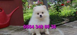 Pomeranian Boo ilanı