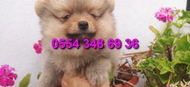 Secereli Pomeranian Boo