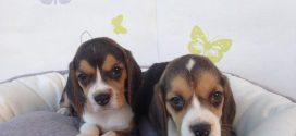 Beagle Yavrusu