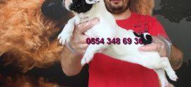 Fransız Bulldog Yağız Pet Club