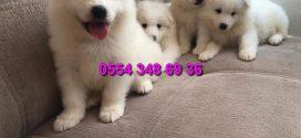 Beyaz Samoyed Yavruları