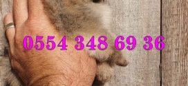 Pomeranian ilanları