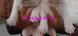ingiliz bulldog yavrusu