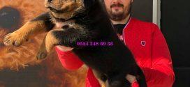 Rottweiler Yavruları