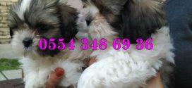 Shih Tzu Yağız Pet Club