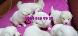 Satılık Samoyed Yavruları
