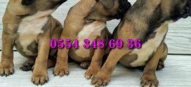 Fransız Bulldog Fawn Yavrusu