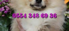 Bursa Pomeranian Yavruları
