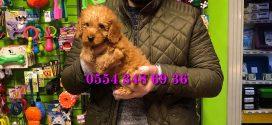 Satılık Toy Poodle Red Yavruları