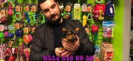 Satılık Yorkshire Terrier Yavruları