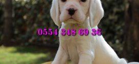 Satılık Beyaz Beagle Yavruları