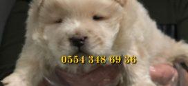 Satılık Chow chow yavrusu