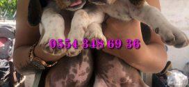 Elizabeth Beagle Yavruları
