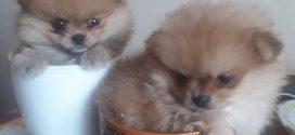 Pomeranian Yavrularımız