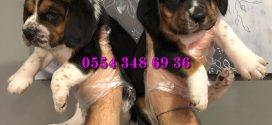 Beagle Yavru ilanları