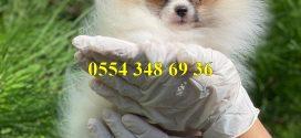 Pomeranian Boo EvcilYavru