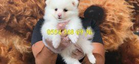 Satılık Pomeranian Spitz Yavrularımız