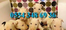 Bull Terrier Yavrular Mağazamızda