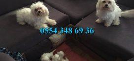 Maltese Terrier Yavrular Mağazamızda