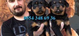 Satılık Rottweiler Yavrular