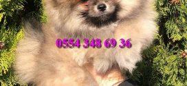Boo Dog – Pomeranian Bebeğimiz