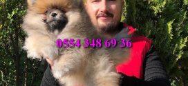 Boo Dog – Pomeranian Erkek Yavrumuz