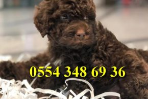 Chocolate brown toy poodle yavruları