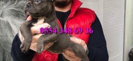 Eşsiz Güzellikte Blue Fransız Bulldog Yavrumuz