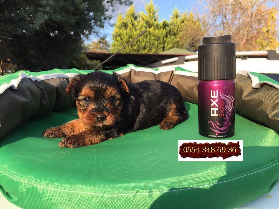 Sıfır Numara Yorkshire Terrier | Satılık Köpek ilanları